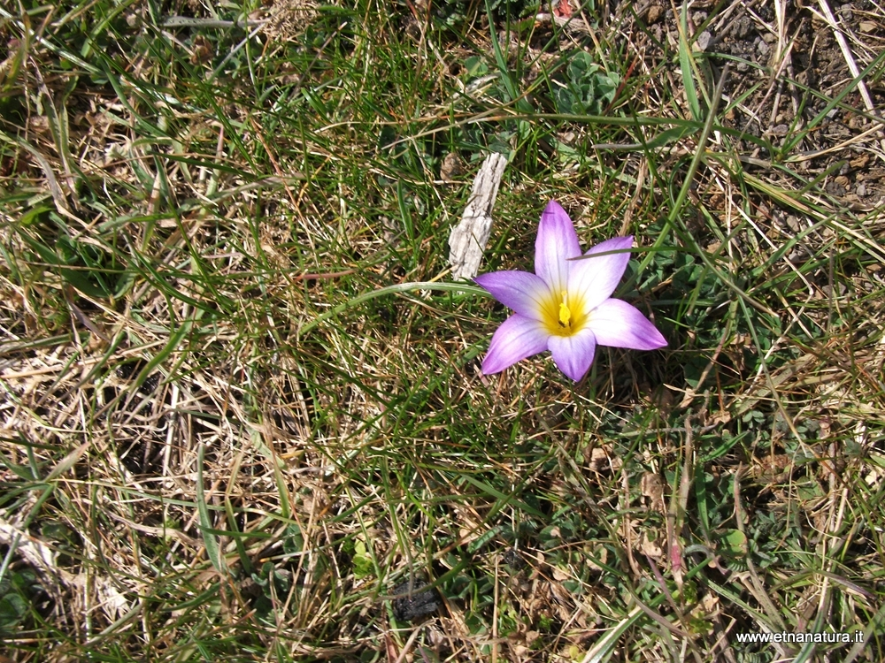 Crocus bulbocodium