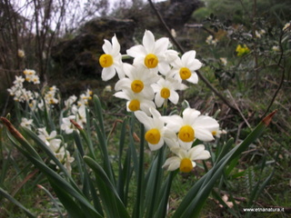 Narcisus tazetta