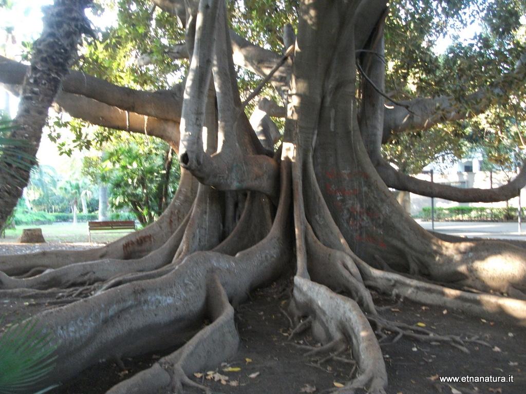 Ficus Macrophylla Catania