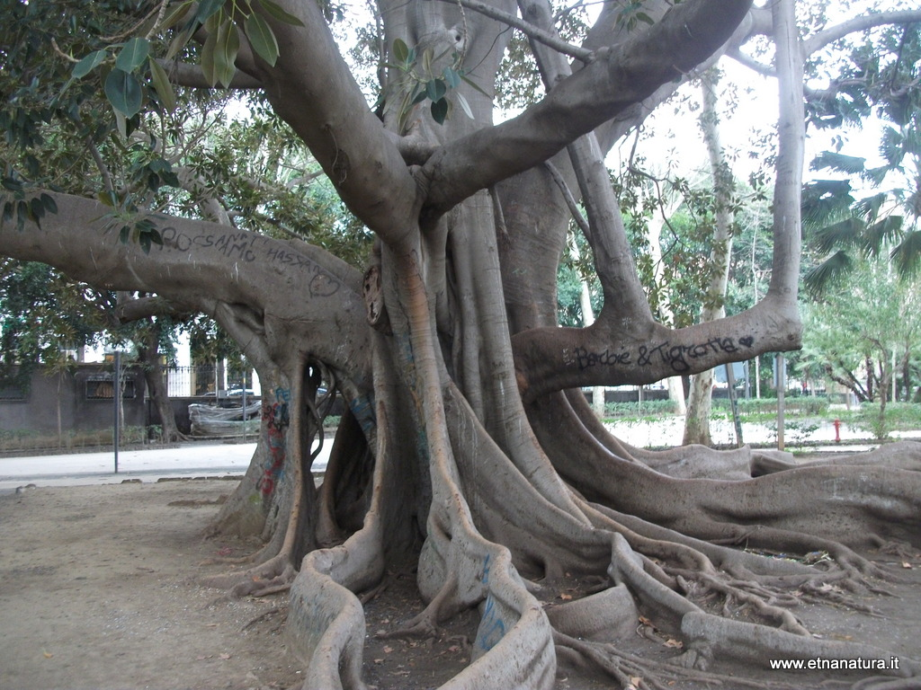 Ficus villa Bellini Catania