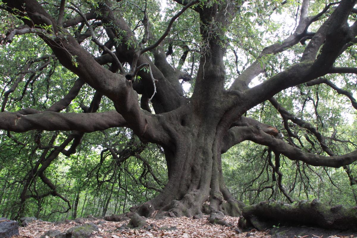 IMG_6461 Quercus ilex (Ilice di carrinu)